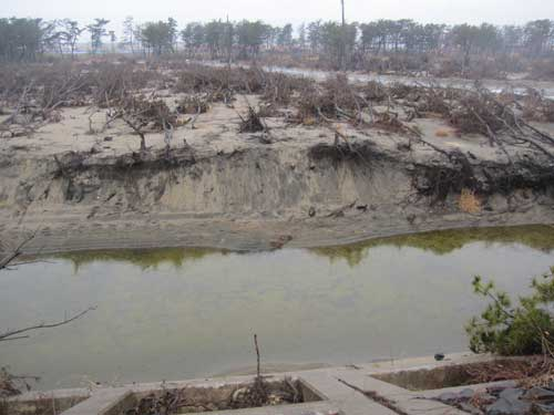 Figure 16. Pine forest destroyed by the tsunami.